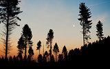 Pine tree silhouette dusk moon