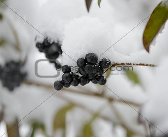 Black Elder Berries Covered With Fresh Snow