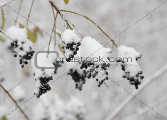 Black Elder Berries Covered With Fresh Snow