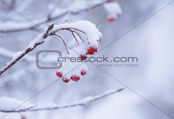 Red Rowan Berries Covered With Fresh Snow