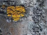 Lichen and moss on rowanberry