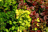 Variegated Bushes