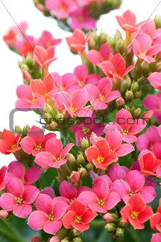 Aubrieta. Beautiful flower on light background