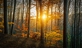 Golden Sun Through Forest