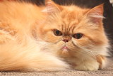 The portrait of red persian cat close-up