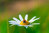 ladybug sits on a beautiful daisy in a field