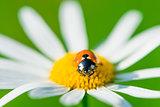 macro ladybug on camomile early sunny morning