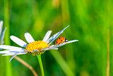 ladybug crawling on a daisy in a field