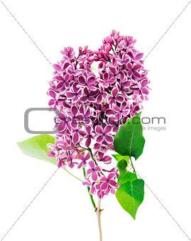 BlossomingLilac