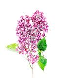 BlossomingLlilac