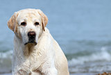 labrador at the sea portrait