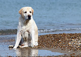 A yellow labrador in the beach close up