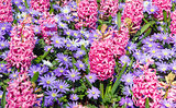Spring pink hyacinths and blue flowers (closeup)