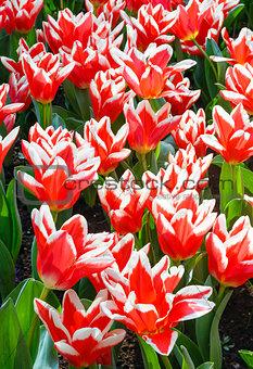 Beautiful red-white tulips (closeup)