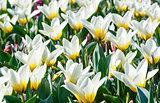 Beautiful white tulips close-up.