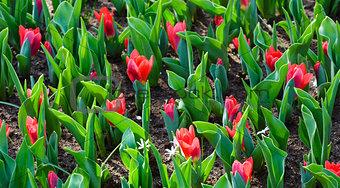 Beautiful red tulips (closeup)