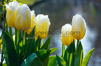 Beautiful white tulips closeup.