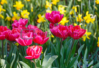 Beautiful red tulips and yellow narcissus