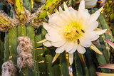 Bees on Cereus Cactus