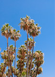 Tall dry palm trees on clear sky