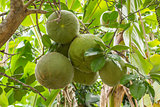 Fresh pomelos on tree