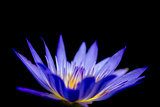 Colorful Beauty Lotus Closeup