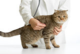Veterinary doctor with british cat isolated