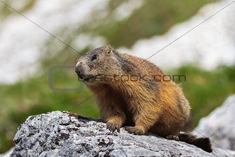 Alpine marmot (Marmota marmota) on rock