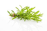 Rosemary bundle isolated.