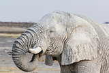 White african elephants on Etosha waterhole