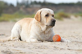 labrador playing with an orange ball