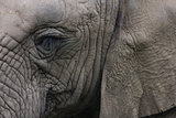Closeup of an elephant s head