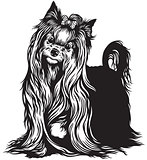 yorkshire terrier black white