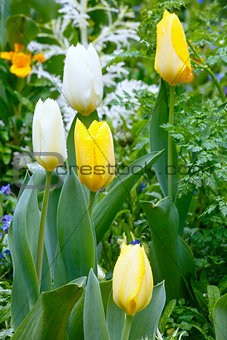 Beautiful white and yellow tulips (close-up).