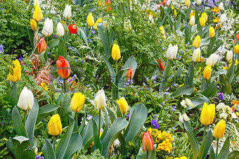 Beautiful varicolored tulips. Nature background.