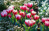 Spring red-white tulips