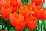 Beautiful red tulips (closeup)