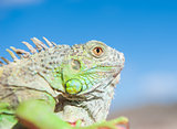 Head of a chameleon against blue sky