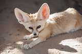 Fennec desert fox lying down