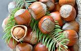 hazelnuts and pine tree twigs