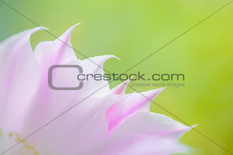 Closeup Image of Beautiful Pink Cactus Flower on Green Background