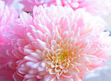 Close Up Image of the Beautiful Pink Chrysanthemum Flower
