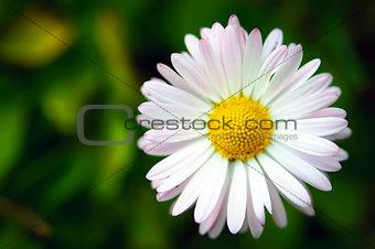 Single daisy flower on green background macro