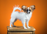 Portrait Papillon puppy on an orange background