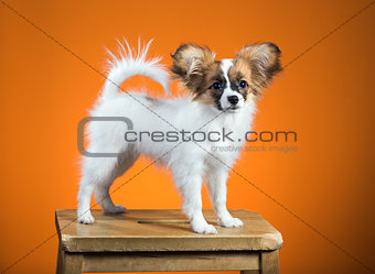 Portrait Papillon puppy on an orange background