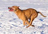 American Pit Bull Terrier running in snow
