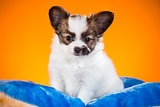 Portrait of a puppy Papillon on an orange background