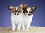Two sweet puppy Papillon