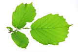 Leaves of the hazel tree (Corylus avellana)