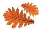 Quercus frainetto Hungarian oak